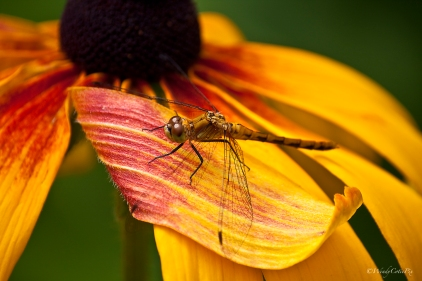 Dragonfly on Black-eyed Susan