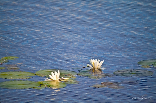 Water Water Rose (Nymphaea alba)