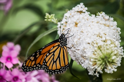Monarch, butterfly bush, buddlea, Ottawa