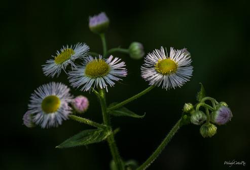 Eastern Fleabane Daisy (Erigeron annuus)