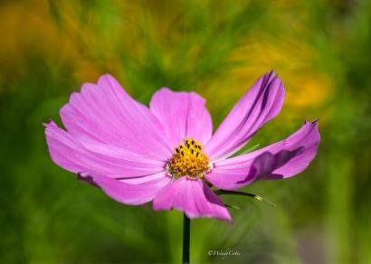 img_3685_pinkcosmos7x5