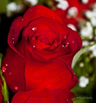 img_5348_rose