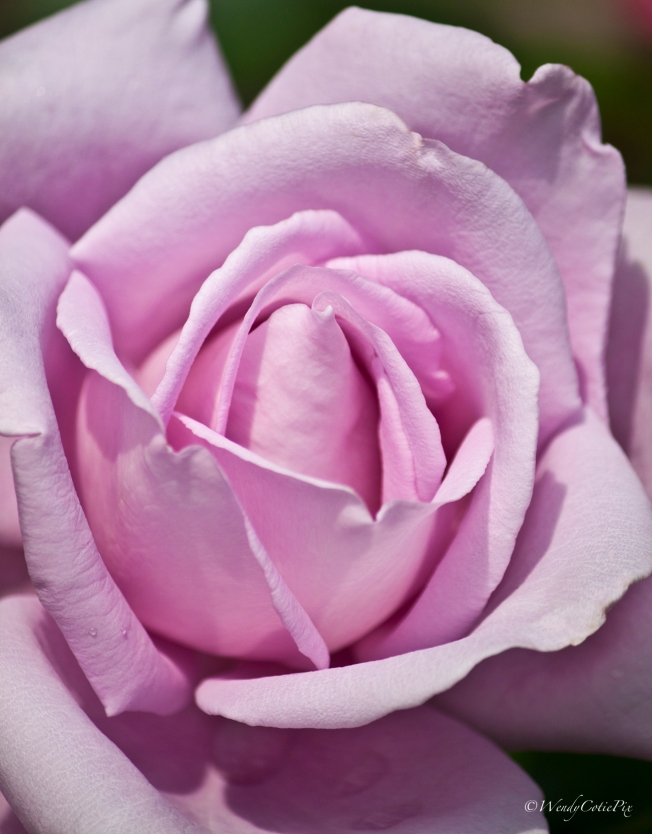 img_8204_purpleheavenrose
