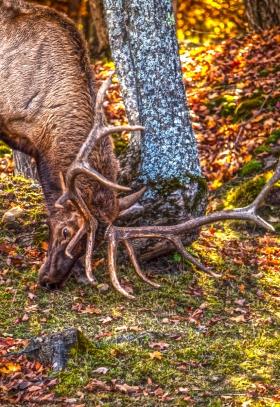 Elk rubbing antlers