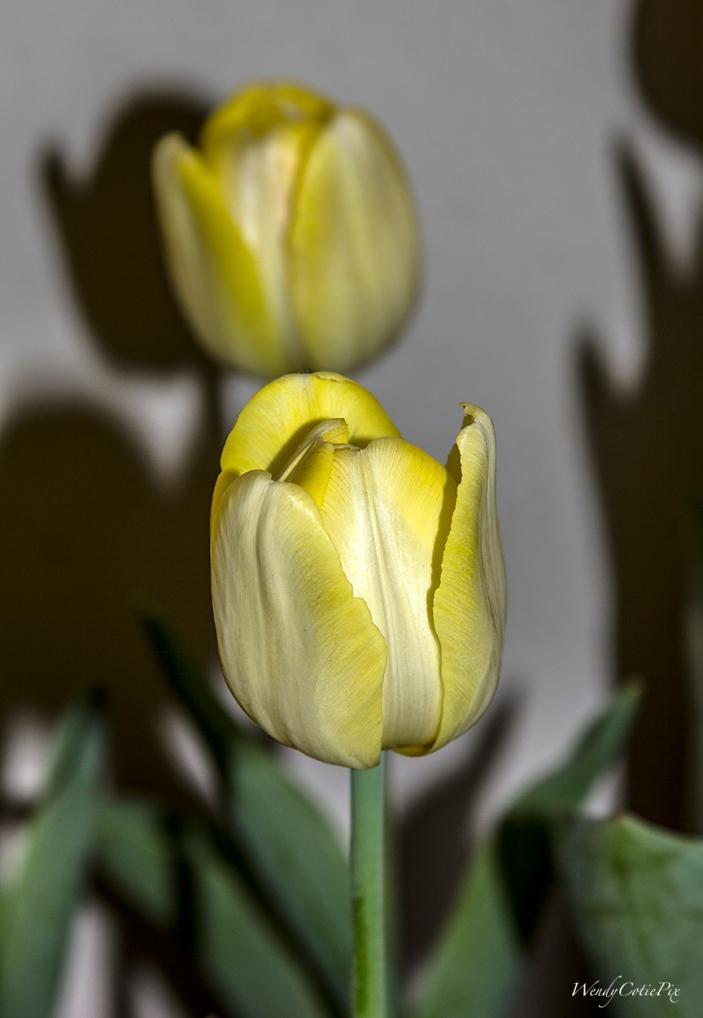 img_8506_yellowtulips