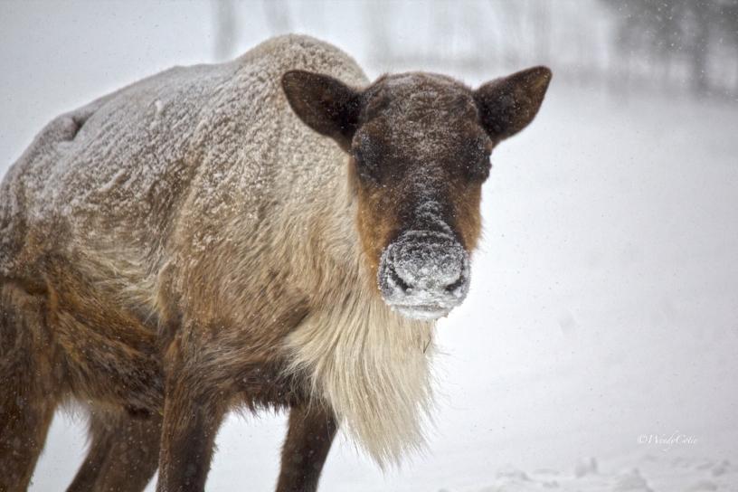 Caribou female