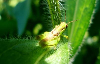 dsc04606_grasshopper