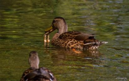 duckcrawfishcloseup-2