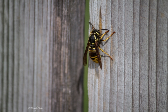 IMG_0113_waspSideview_LR