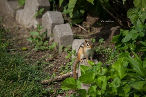 Garden Chipmunk