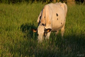 img_0338_valleycow