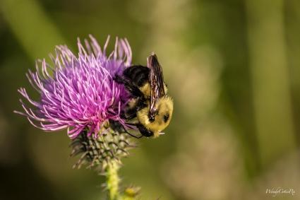 Bull Thistle (Cirsium vulgare) and Bumblebee (Bombus spp.)
