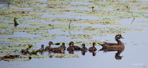img_0382_woodduckfamily