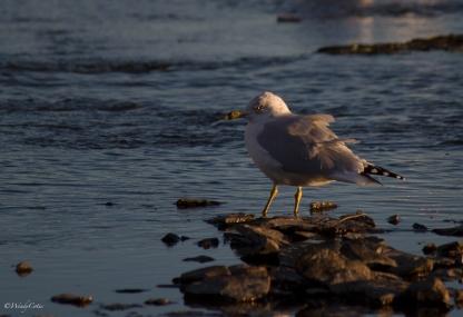 img_0774_seagullstaring