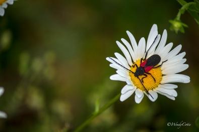 Ox-eye Daisy (Leucanthemum vulgare) and unknown Beetle