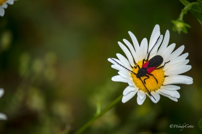 Ox-eye Daisy (Leucanthemum vulgare) and unknown Beetle