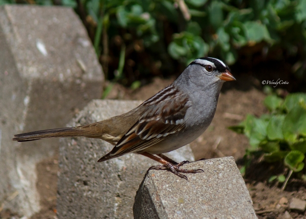 img_1313_white-crownedsparrow