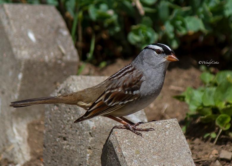 img_1313_white-crownedsparrow