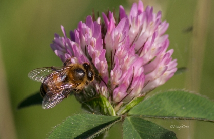 Honeybee and Clover (both unidentified)