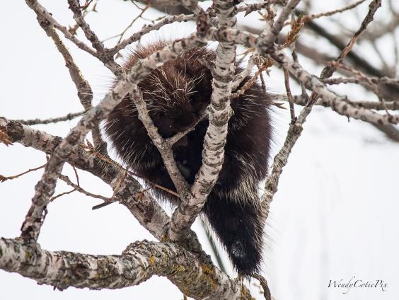 img_1757_porcupinesametree