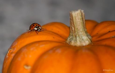 img_1988_ladybugfaceon