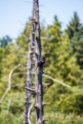 img_2053_rwingedblackbird