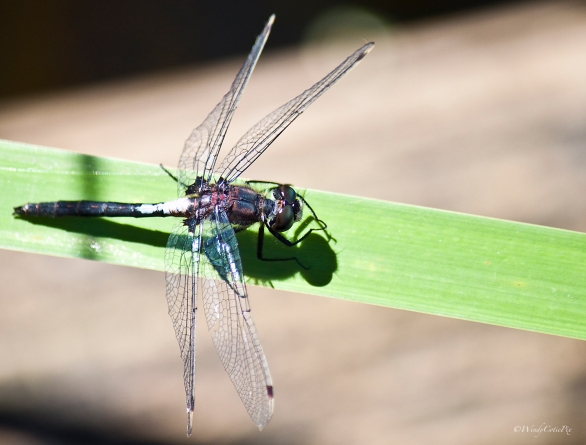 IMG_2069_dragonflyquestion