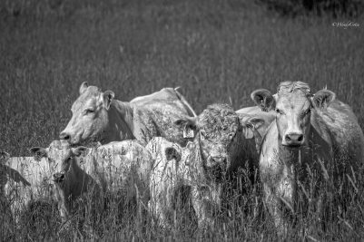 CurlytheBull ~ Charolais cattle