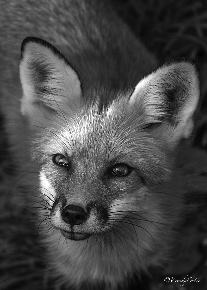 img_2385_redfox-recovered_gs