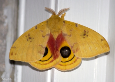 img_2448_beautifulyellowmoth