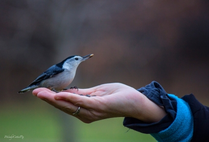 img_2661_nuthatchseed2