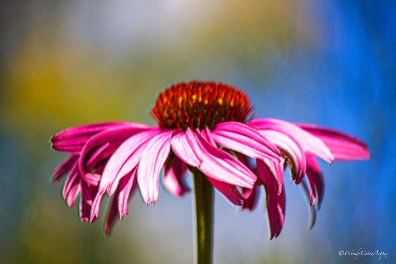 ExquisiteEchinacea