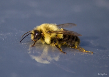 Chilled Bumblebee