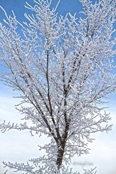 img_3392_hoarfrostbloomtree