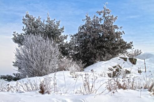 img_3443mohrshoartrees