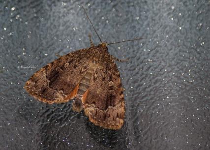 img_3450_moth