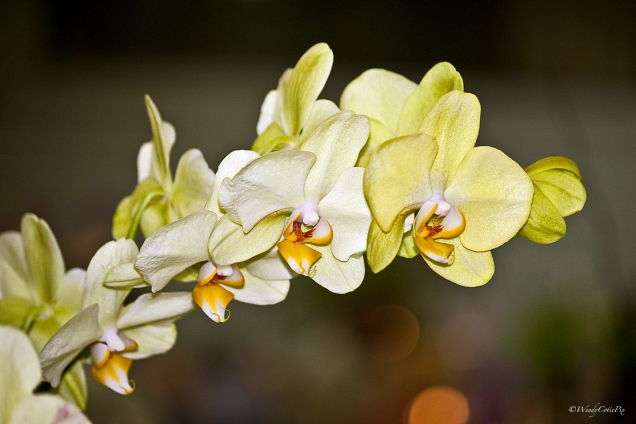 img_3454_yellowwhiteorchids