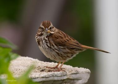 img_3457_sparrow