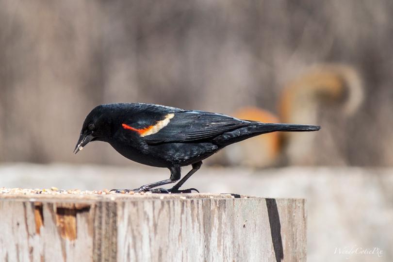 img_3504_redwingedblackbird
