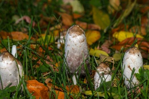 img_3530_whitetallmushrooms