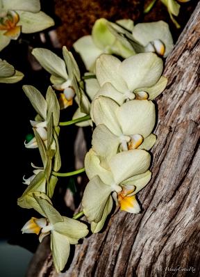 img_3599_yellowtreebarkorchids