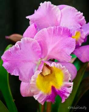 img_3621_pinkorchid