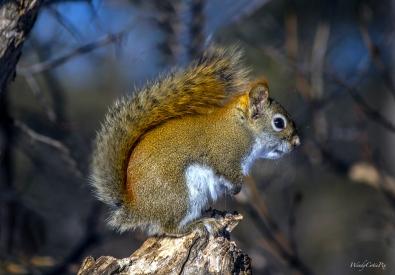 img_3664_redsquirrel
