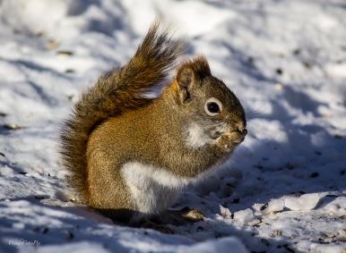 img_3677_redsquirrel