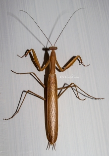 img_4205_brownmantis