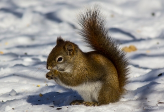 img_4215_brownsquirrelcuteeating