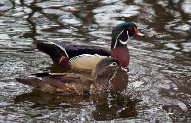img_4319_woodducks