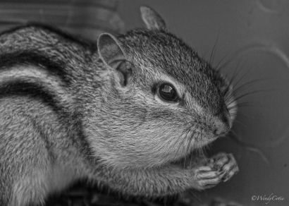 img_4563_chipmunkbluebackground7x5_gs