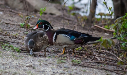 img_4588_woodducks