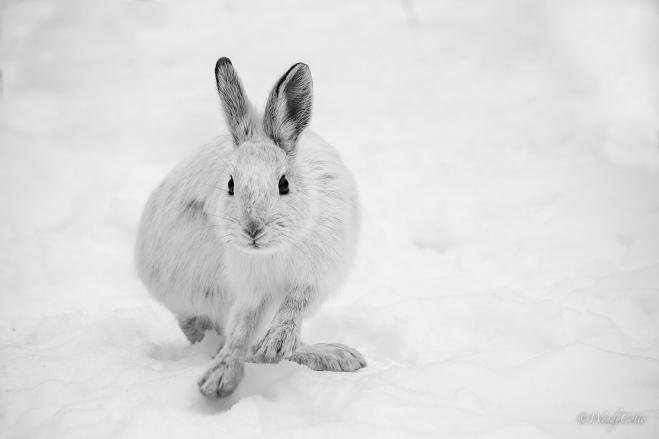 img_4654_snowshoehare_gs